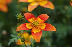 Bidens 'Sunrise Star'