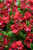 "Diascia framboise ""Flying colors coral"""